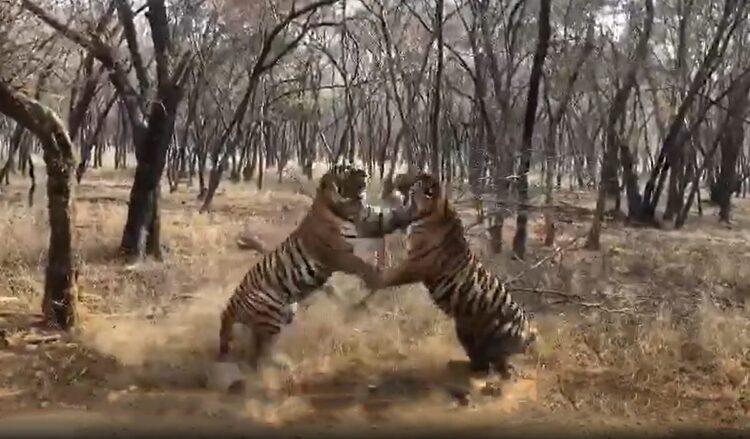batalha mortal entre dois tigres