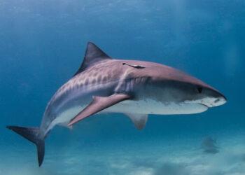 Tubarão-tigre nas Bahamas. Seu nome de dá a essas manchas que possui durante a juventude. (Imagem de Wikimedia Commons)