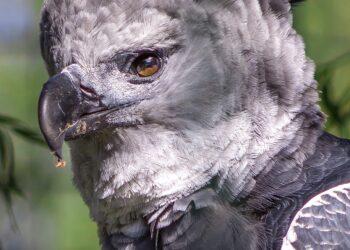 As harpias estão entre as maiores águias do mundo - e também entre as mais ameaçadas. (Imagem de tee_zett por Pixabay)