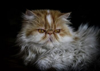 Pesquisas mostram que gatos de cara achatada têm dificuldade em mostrar expressões. Confira: (Imagem de deliabertola por Pixabay)