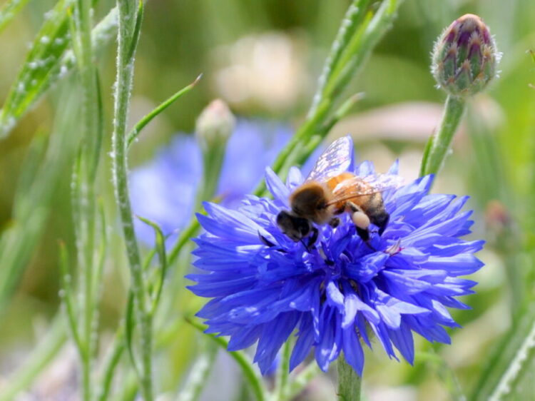 Pesquisa indica que a flor azul, uma das cores mais raras da natureza, pode ser uma criação das abelhas. (Reprodução/Internet)