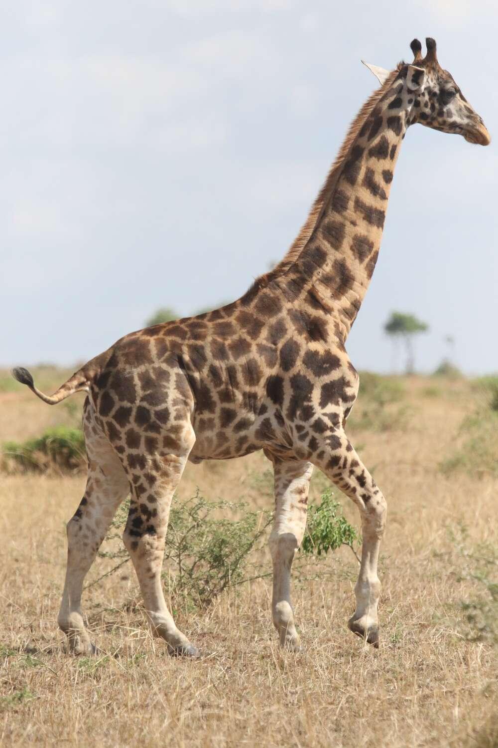 girafa anã em Uganda