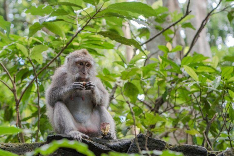 macacos ladrões de Bali