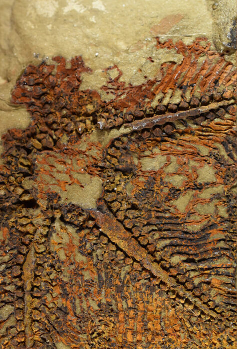 mais antigo ancestral das estrelas-do-mar