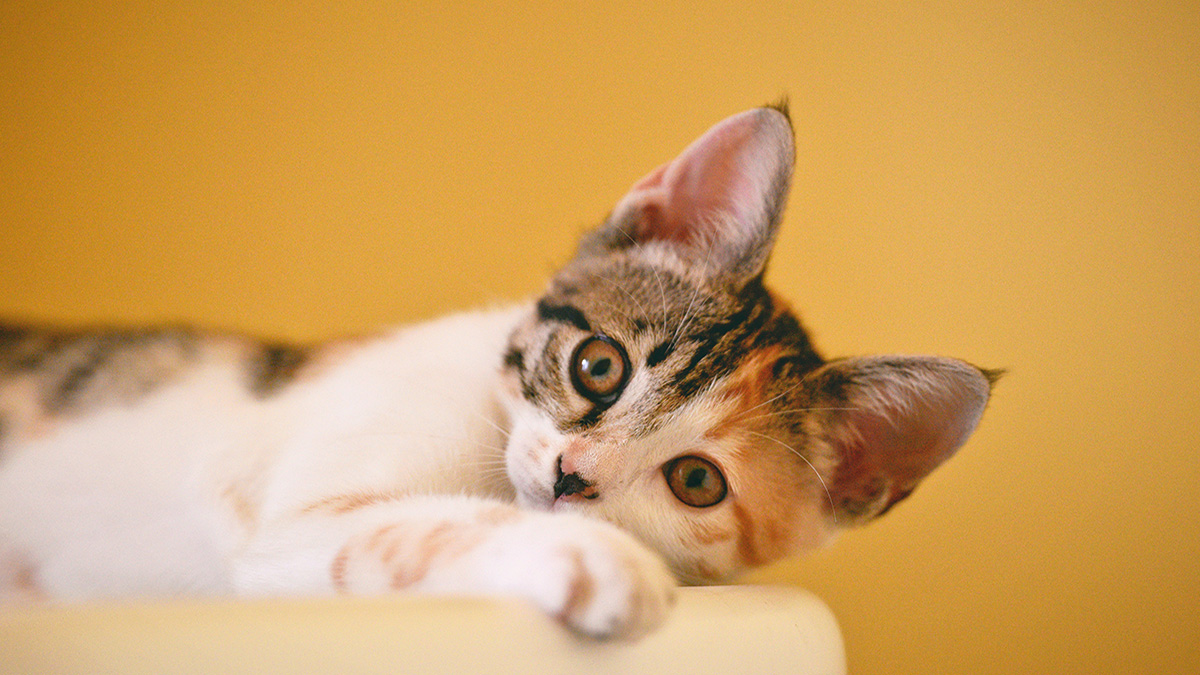 Aprenda a calcular a idade do gato