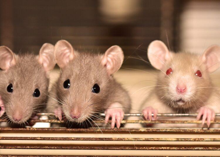 Novos estudos mostram que não só a dor pode ser transmitida entre ratos, mas também o alívio. (sipa/Pixabay)