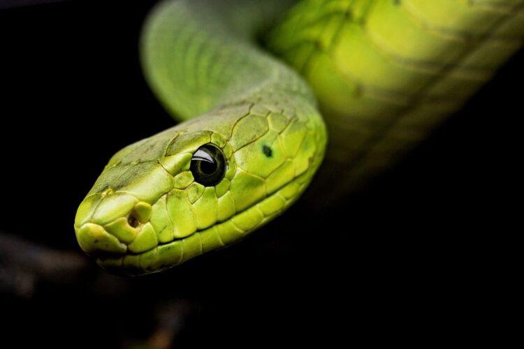 Confira nesse post o mecanismo de defesa das cobras ao seu próprio veneno. (Michael Kleinsasser/Pixabay)