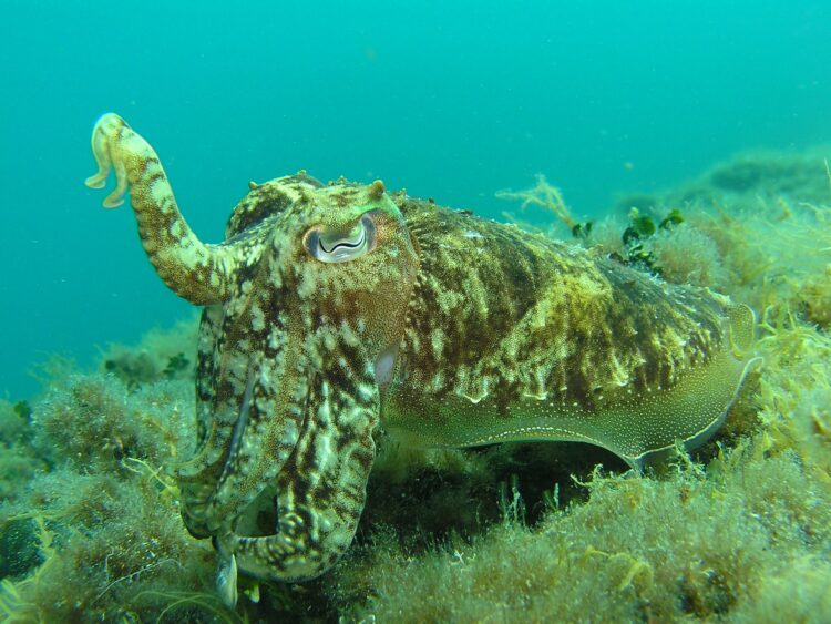 Estudos mostraram que cefalópodes coleóides podem alterar seu RNA para se adaptar ao ambiente. (Martin Str/Pixabay)