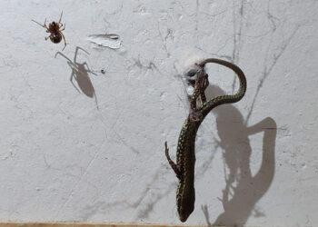 Aranhas criam sistema de roldanas