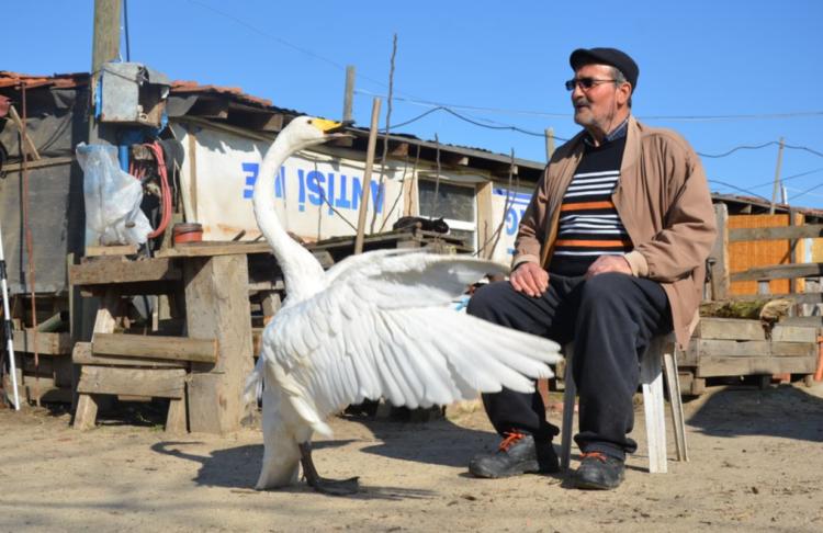 A amizade mostra que os cisnes são capazes de viver por muito mais tempo como pets. (AP/Ergin Yildiz)