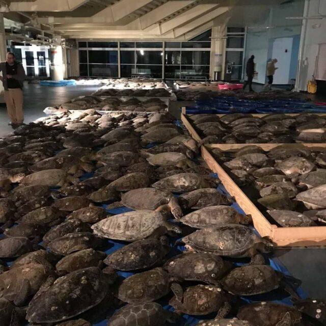 Milhares de tartarugas ficaram paralisadas no Texas