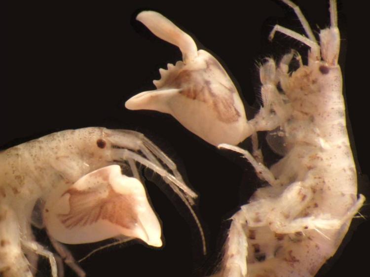 Do tamanho de uma semente de girassol, o anfípode Dulichiella empunha uma garra gigante que se fecha 10.000 vezes mais rápido do que um piscar de olhos humanos. (Tomonari Kaji)