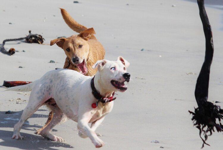 Cães de estimação brincam mais quando estão perto dos humanos