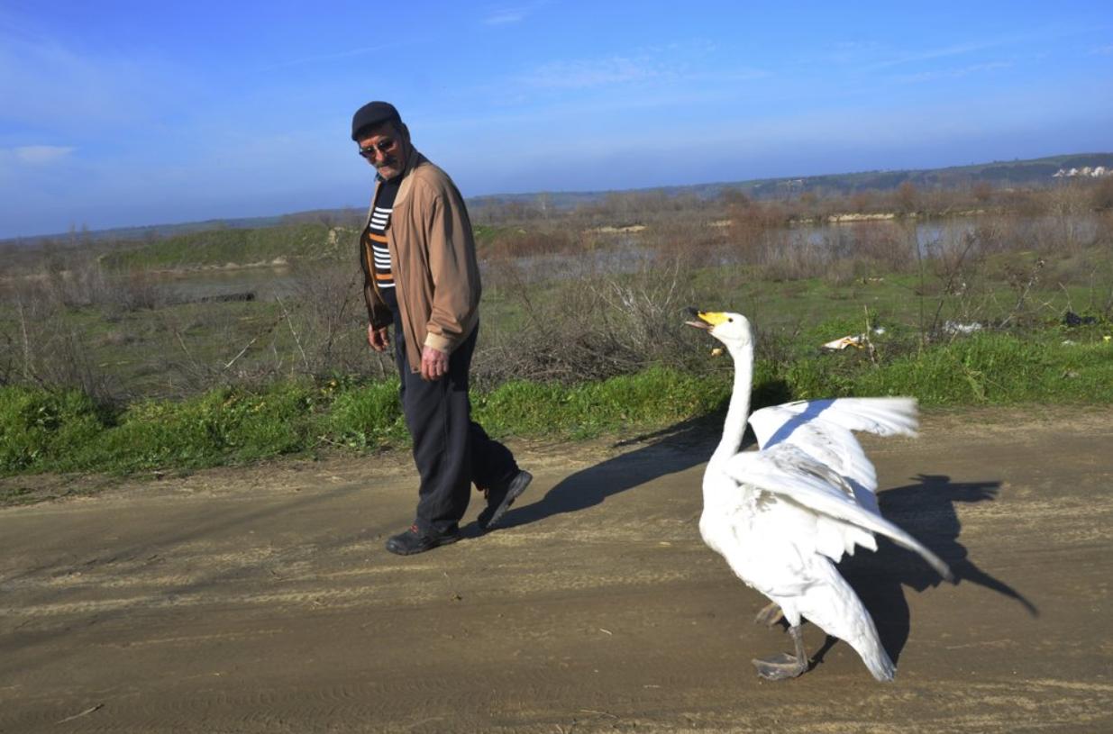 Há 37 anos, o cisne foi salvo pelo carteiro turco e, desde então, reconhece seu salvador com lealdade e uma grande amizade.