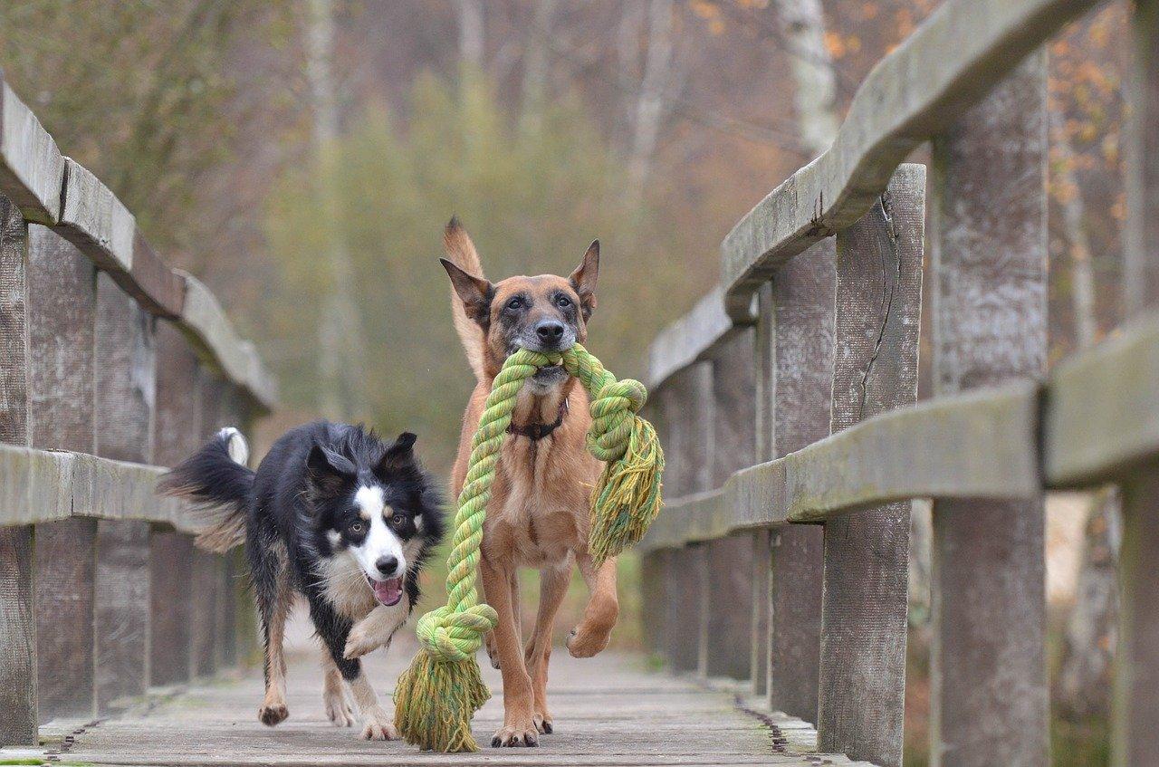 Cães de estimação