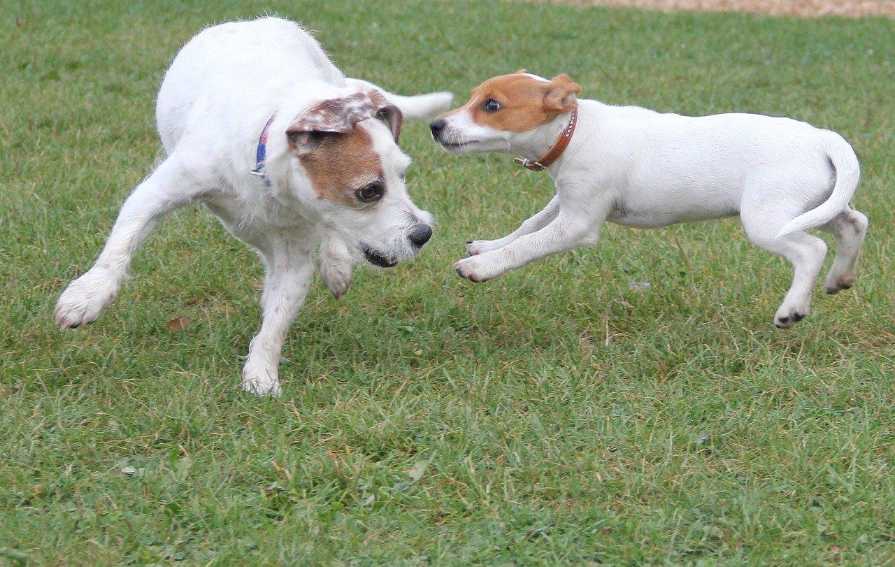 Cães de estimação brincam mais quando estão sendo observados