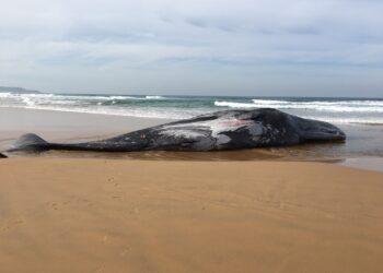 A causa da morte da cachalote adulta de 16 metros ainda é incerta. (DELWP Gippsland)