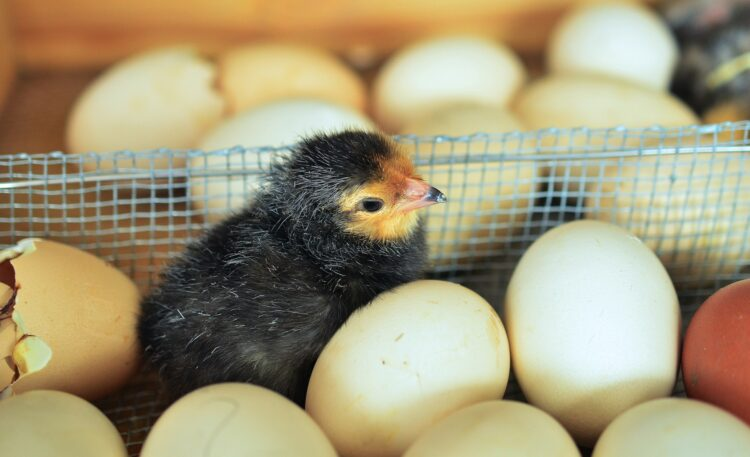 Uma pequena estrutura no bico do pintinho faz toda a diferença na hora de sair do ovo. (Imagem de congerdesign por Pixabay)