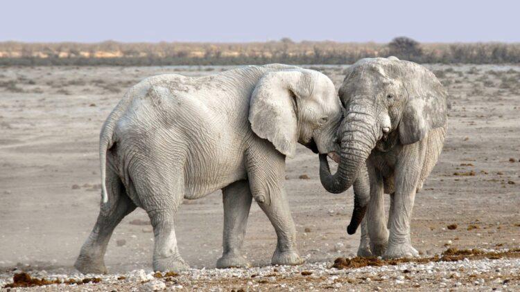 Animais grandes, como elefantes, desenvolvem muito menos câncer que animais menores. Entenda esse paradoxo. (Imagem de kolibri5 por Pixabay )