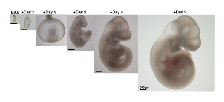 Pesquisadores conseguiram desenvolver embriões de rato fora do útero pela primeira vez. (A. Aguilera-Castrejon et al., Nature 2021)