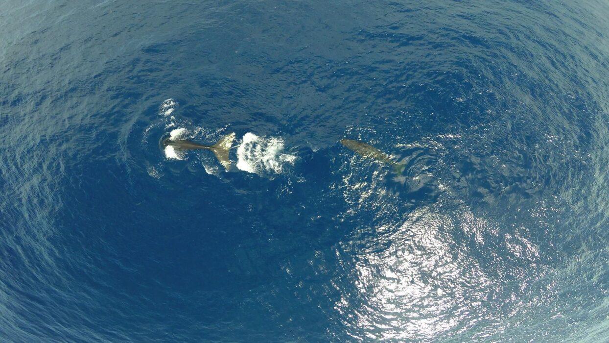 Cachalotes ensinam umas ás outras