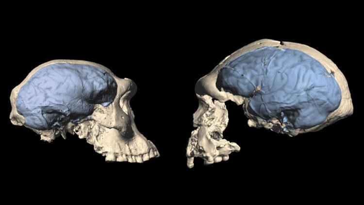 Estudos indicam que os primeiros humanos a saírem da África tinham cérebros semelhantes aos dos macacos. (M.S. PONCE DE LEÓN AND C.P.E. ZOLLIKOFER/UNIVERSITY OF ZURICH)