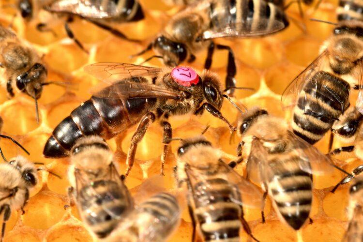 Abelhas podem utilizar feromônios para encontrar a rainha afastada da colônia, mostra estudo. (Imagem de xiSerge por Pixabay)