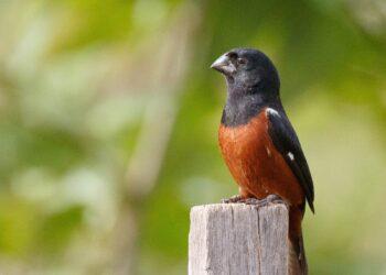 O Curió é uma das espécies que foi extinta em vários locais do Brasil. Graças a criadores legais, registrados no IBAMA, a espécie pôde ser reintroduzida onde não haviam mais indivíduos.