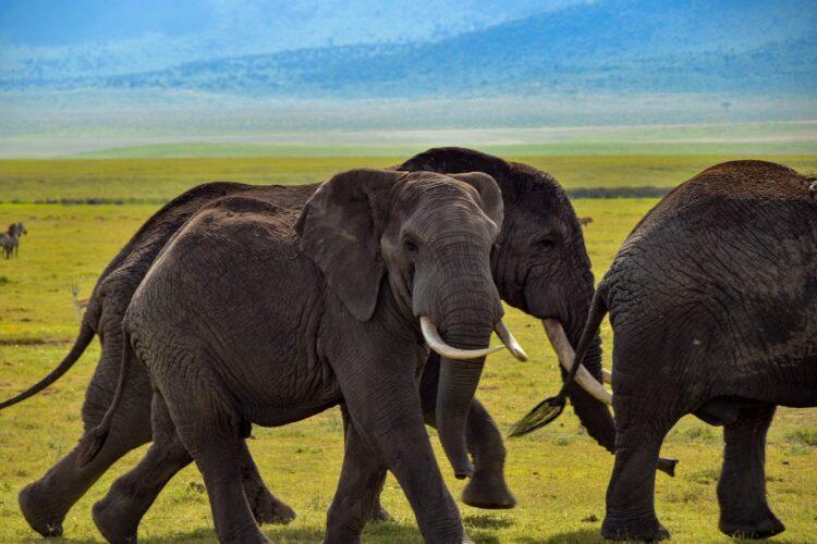 Um grupo de caçadores ilegais fugiu em direção a uma manada de elefantes na África do Sul. Um acabou pisoteado, outro capturado e o último foragido. Imagem: Willm78/Pixabay