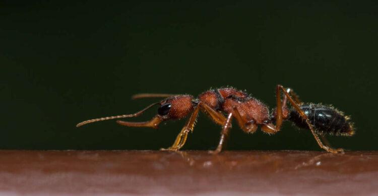 formigas-saltadoras
