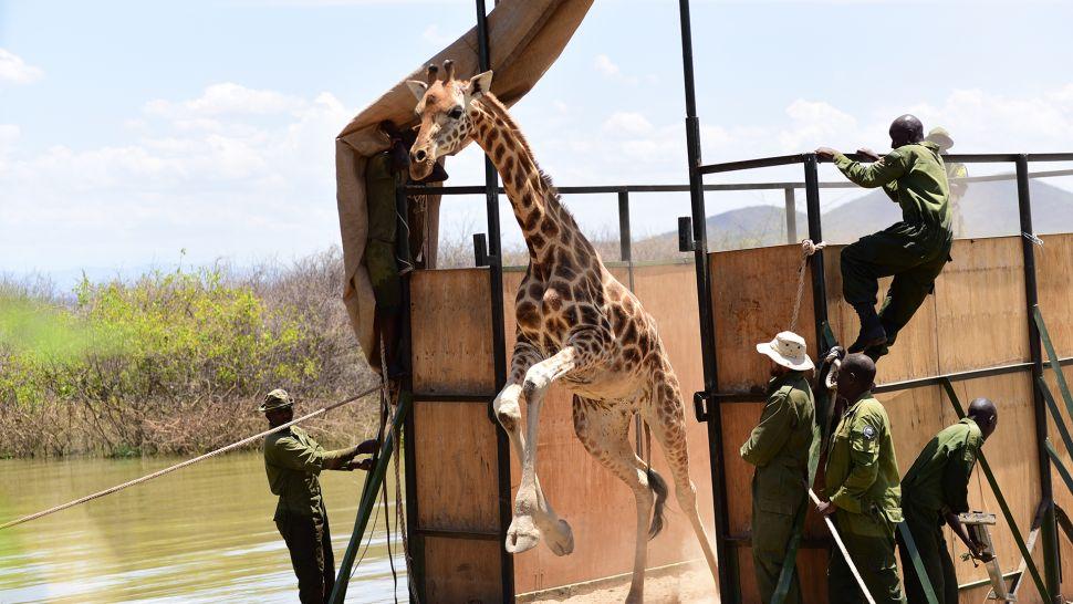 girafa escapa durante resgate