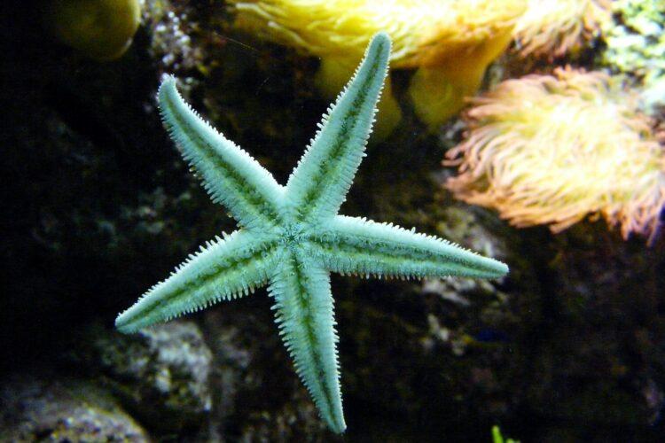 Pesquisadores observaram que estrelas-do-mar podem ser canibais desde os primeiros momentos de vida.
