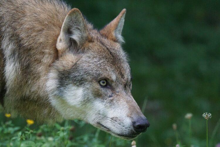 Um novo estudo mostra como os lobos sobreviveram à última era glacial.(Imagem de Marcel Langthim por Pixabay)