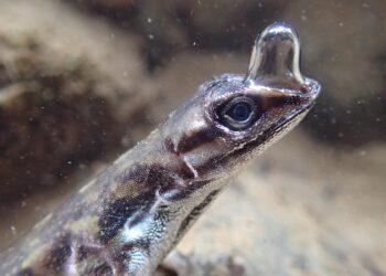 Pesquisadores observaram que esse lagarto usa bolhas para respirar embaixo d'agua por mais tempo. Imagem: LINDSEY SWIERK