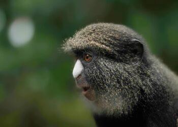 macaco-de-nariz-branco