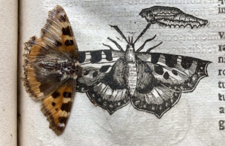 A diretora da biblioteca de Cambridge encontrou esta borboleta em meio às páginas de um livro de 400 anos. Imagem: Triangle News