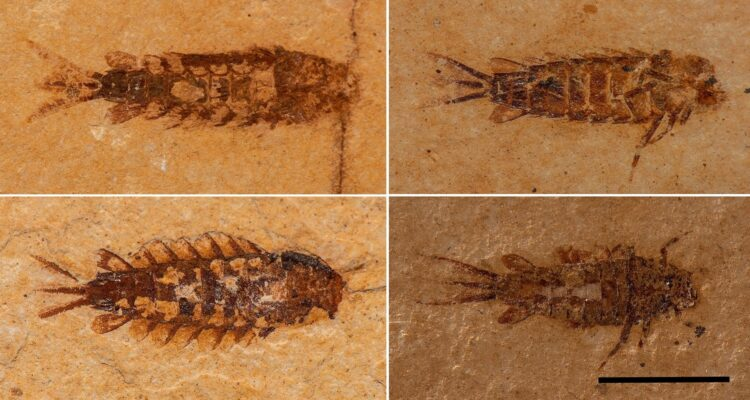 Larvas de Protoligoneuria limai. Imagem: Scientific Reports/Nature