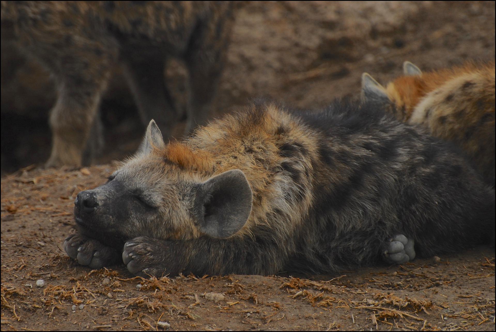 Restos de neandertais caçados por hienas são encontrados na Itália