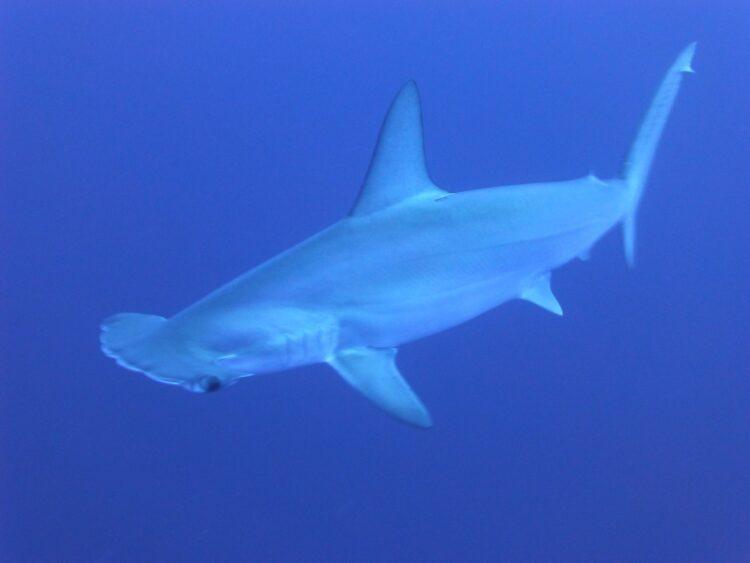 Pesquisadores mostraram que tubarões podem se orientar pelo campo magnético da Terra. Imagem: Took/Pixabay