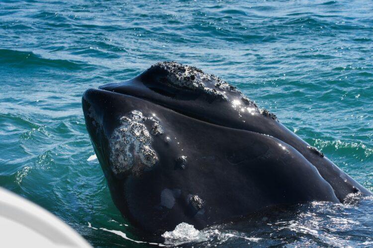 Baleias-francas se abraçam em gravação feita por drone