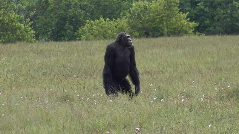 Chimpanzés matando gorilas