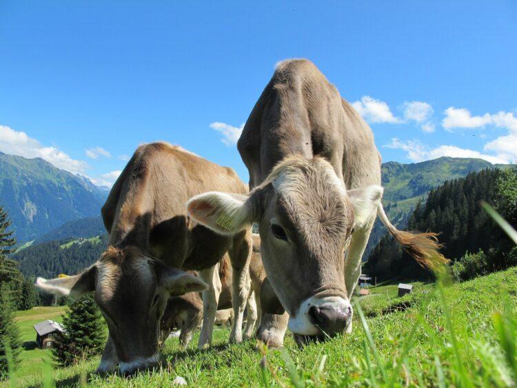 Esta pesquisa sugere que microrganismos do rúmen de vacas podem digerir PET, PBAT e PEF. Imagem: Christian B/Pixabay