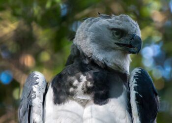 Segundo especialistas, as harpias estão sendo diretamente ameaçadas pelo desmatamento da Amazônia. Imagem: Marcelo Plaza/ Pixabay