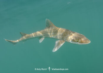 Gray Smoothhound Shark, Mustelus californicus, San Felipe, Sea of Cortez, Baja, Mexico.