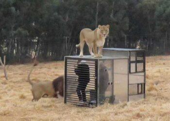 Visitantes em jaulas para ver leões