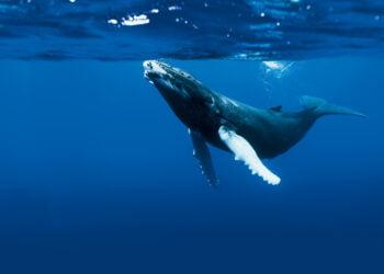 Uma baleia jubarte. Imagem: iGui Ecologia/Reprodução