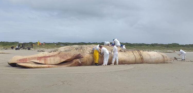 A baleia já estava morta e em decomposição. Imagem: LEC/CEM/UFPR