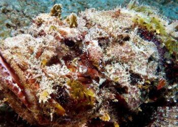 Peixe-pedra, o mais venenoso do mundo. Imagem: Reprodução/Escola Educação